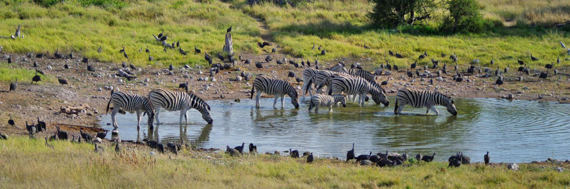 Wildlife! A group of Zebras drinking water