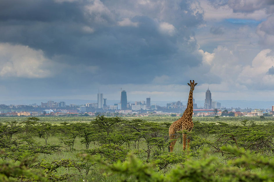 Kenya has the only city national park in the world, in Nairobi National Park