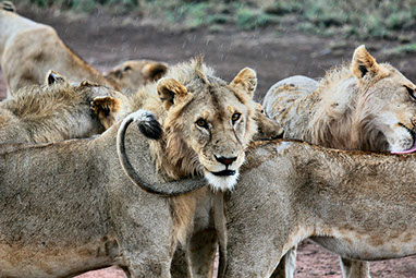 Tsavo East national park image of a group of lions