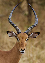 An image of wild animal (Antelope) in Africa