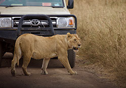 A lion crossing the road infront of a tour vehicle in murchison falls national park