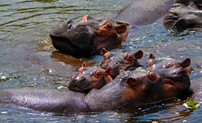 A pool of Hippos in Murchison Falls National Park waters