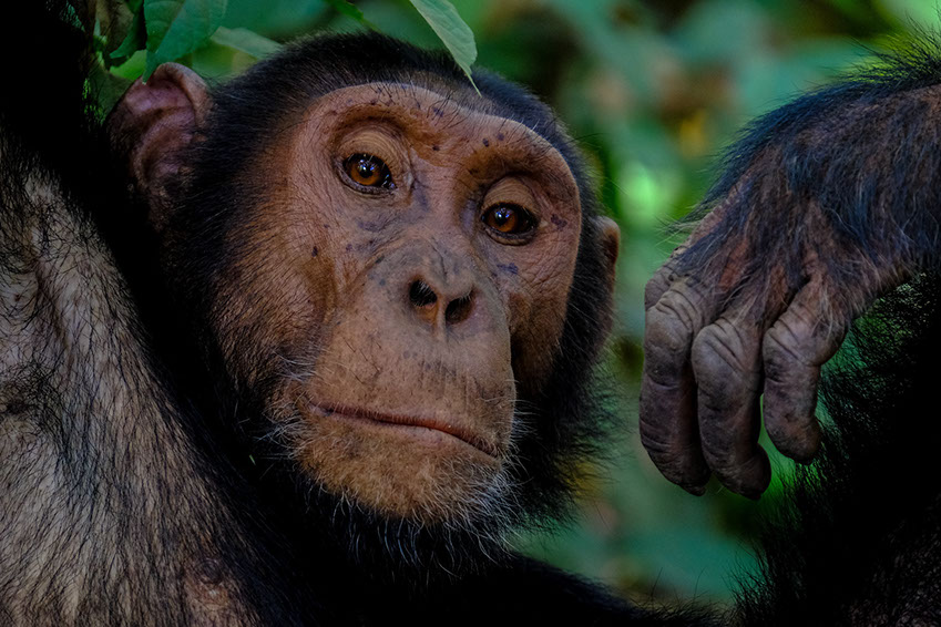Chimpanzees mainly live in the tropical forests of central africa and Uganda in the eastern parts of Africa
