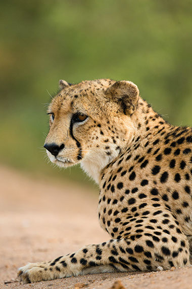 Image of a Cheetah resting in Africa