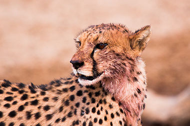 The cheetah is the fastest land animal in the world (it's only birds that can fly faster)