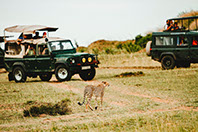 Tourists enjoying a sight of a cheetah in Amboseli national park in Kenya