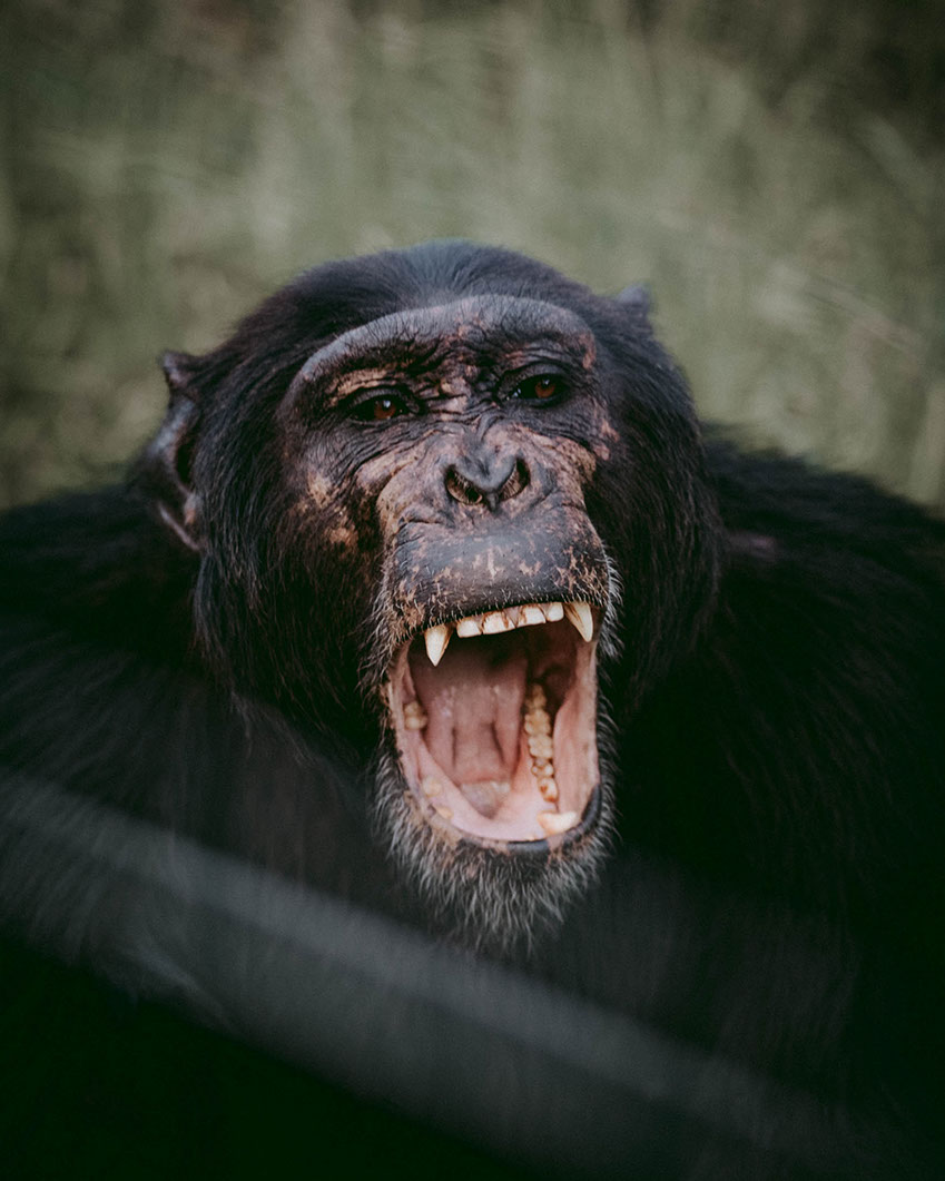 Africa is the only true continent (home) to find Chimpanzees in the World