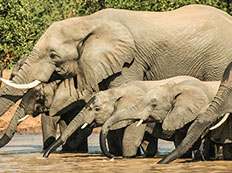 A group of African elephants drinking water in a water pond at Maasai Mara