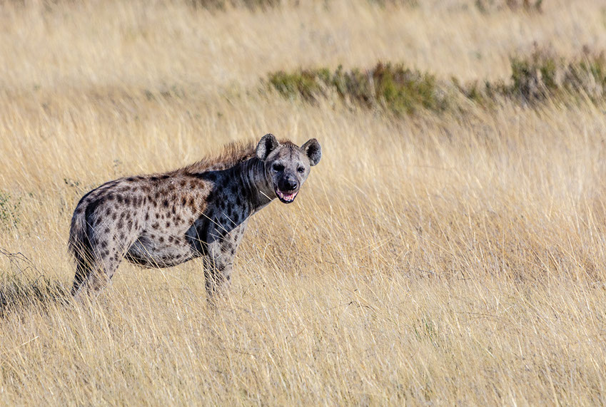 A Spotted Hyena in sub-suharan Africa