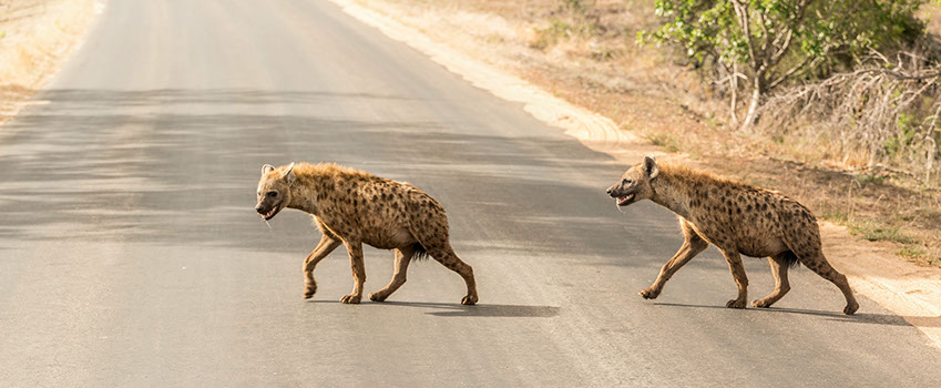 two spotted hyenas across a road in Africa