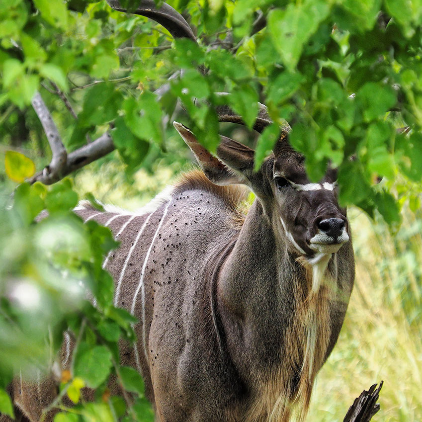 There are two species of kudus; the greater and lesser kudus