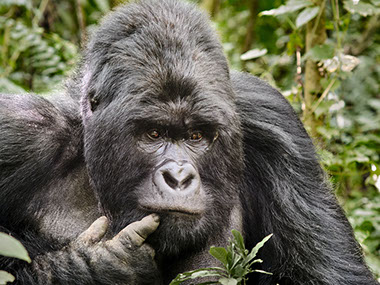 A Mountain Gorilla in a forest covering