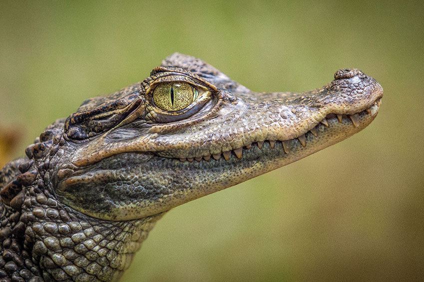 An image of a young Nile Crocodile