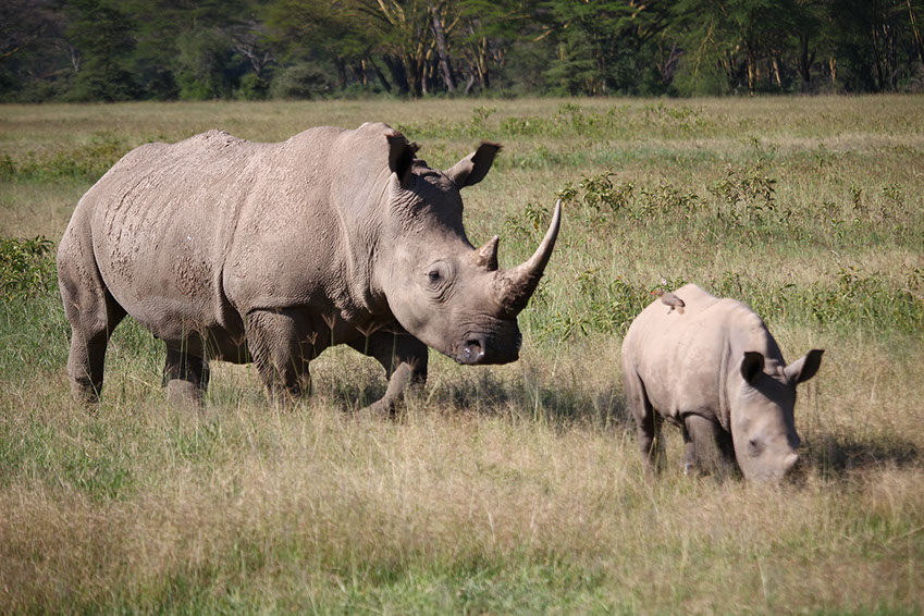 A Mother African Rhino and a young offspring grazing