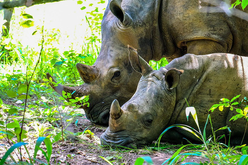 Two African Rhinos resting in the green grasslands