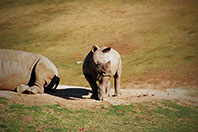 Two African Rhinos resting at a national park in Kenya