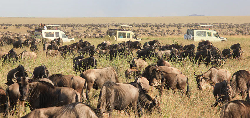 A huge herds of Wildebeest in east-africa