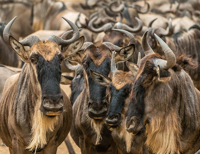 A group of Wildebeest Animals in Africa