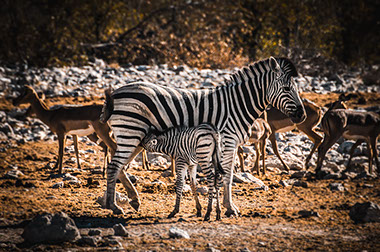 Zebras feed on plant leaves, herbs, twigs and herbivores animals