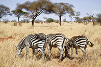 A group of Zebras feeding on grass in Amboseli National Park, Kenya