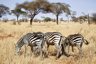 In Africa, Zebras are found from the eastern to the southern parts of Africa