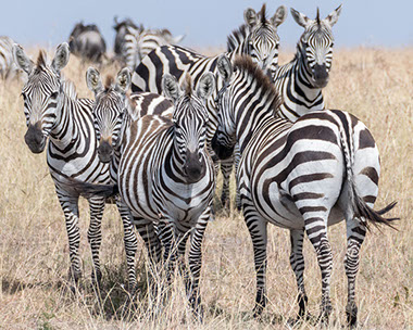 There are 6 sub-species of Zebras in Africa