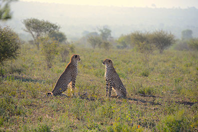 An Image of two seating chetahs at Meru National Park in Kenya
