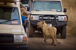 Tourists enjoying a sight of a roaring lion at Maasai Mara national reserve in Kenya