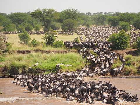 The famous wildebeest migration in serengeti national, tanzania