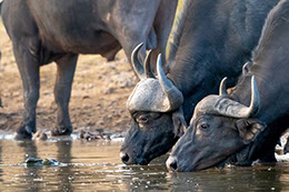 African Buffalo drinking water on river nile in Murchison Falls national park