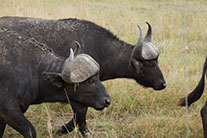 Africa buffaloes moving in the Katavi national park grass lands.