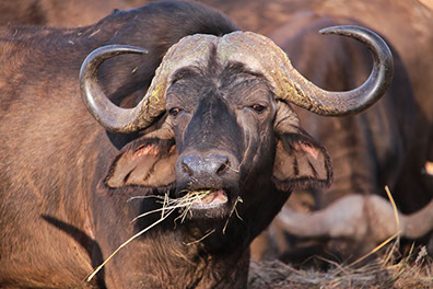 An african buffalo grazzing in the ngorongoro conservation area in tanzania