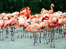 A group of flamingos enjoying a resting time at Lake Nakuru, Kenya
