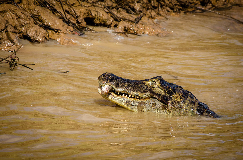 A Nile Crocodile feeding on fish in the water