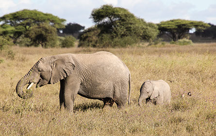 An Elephant and a young one in Kidepo valley national park, Uganda