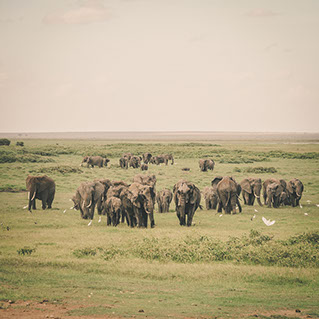 Elephants feeding in the Addo Elephant National Park grasslands, South Africa