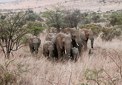 A group of Elephants during a migration in Murchison Falls National Park