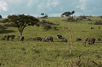 An image of a group of elephants feeding on the grass in Mount Elgon national park