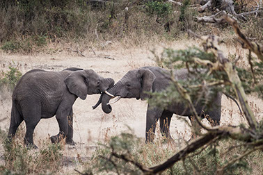 Two male elephants fighting at tsavo west national park in kenya