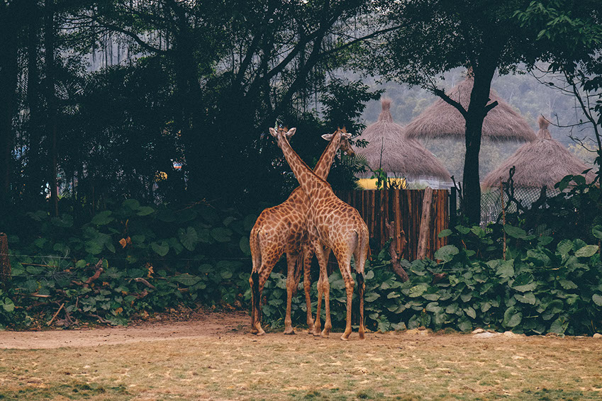 Two Girafees standing across each other near a homestead in Africa