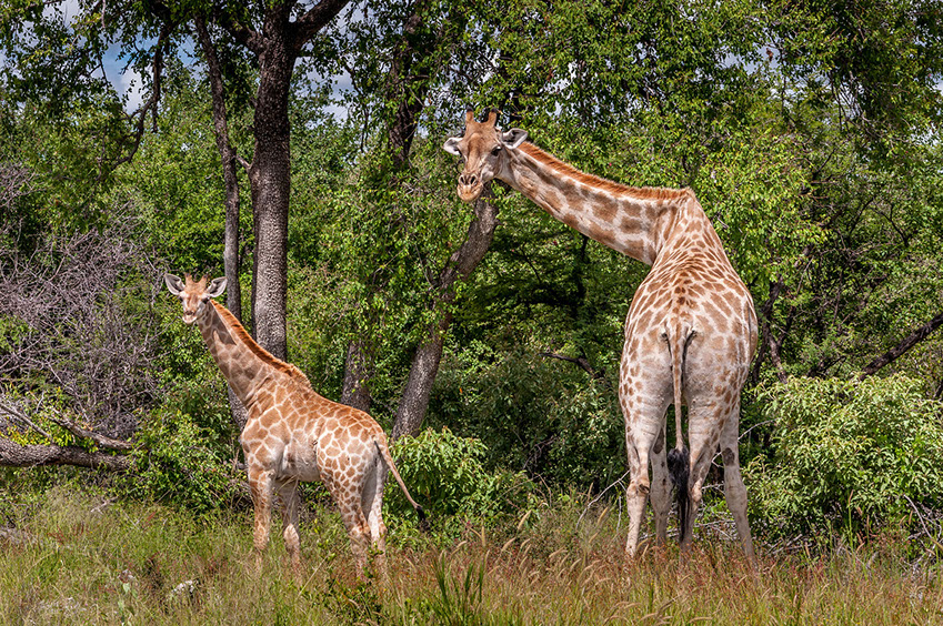 Giraffes are the world's tallest mammals, only found in Africa