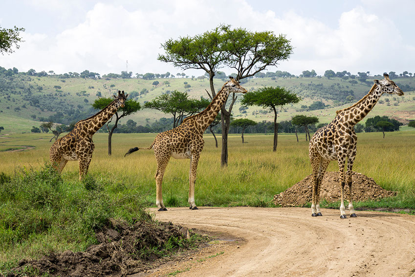 Three Giraffes moving together through the grasslands of Africa