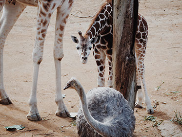 An image of an ostrich with giraffes in Kruger national park, south africa