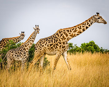 Kidepo Valley National Park is Africa's home to Giraffes