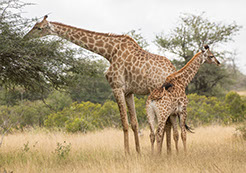 Two Giraffes pictured feeding on tree leaves in Murchison falls national park