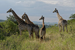A group of African giraffes in the Kenyan Wild