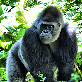 A 3day Mgahinga Gorilla National Park Gorilla tracking experience
