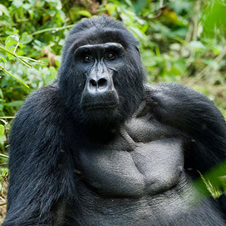 A 3day thrilling Mountain Gorilla tracking exprience at Bwindi Impenetrable National Park