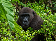 a mountain gorilla sitted in bwindi impenetable forest trees