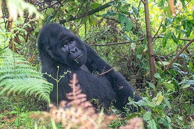 A Silverback Gorilla sitted in the forest in Bwindi Impenetrable National Park, Uganda
